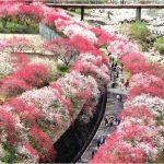 【月川温泉】花桃の開花状況は?無料駐車場はどこにあるの?