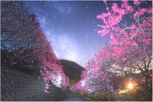 花桃のライトアップ